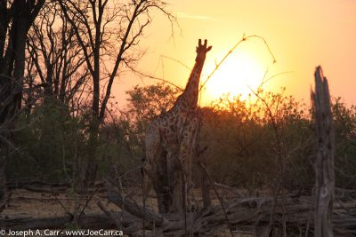 Giraffe feeding at sunset in Linyanti Chobe National Park