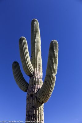 Saguaro cactus against a blue sky