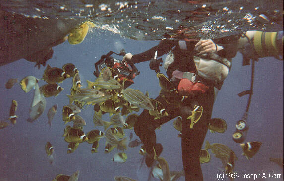Tropical fish swarming to be fed