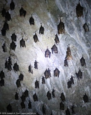 Bats sleeping in their cave in Kilim Karst Geoforest Park Langkawi, Malaysia
