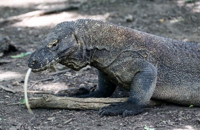 Komodo Dragon monitor lizard at the water hole with tongue extended, Komodo Island, Indonesia