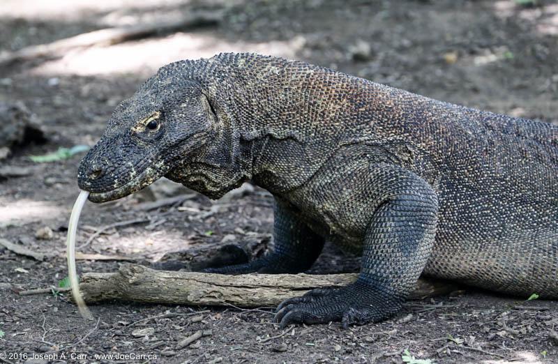 Komodo Island, Indonesia – JoeTourist