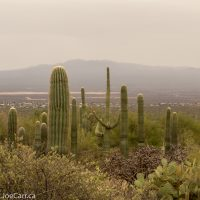 Saguaro Cactus in the rain