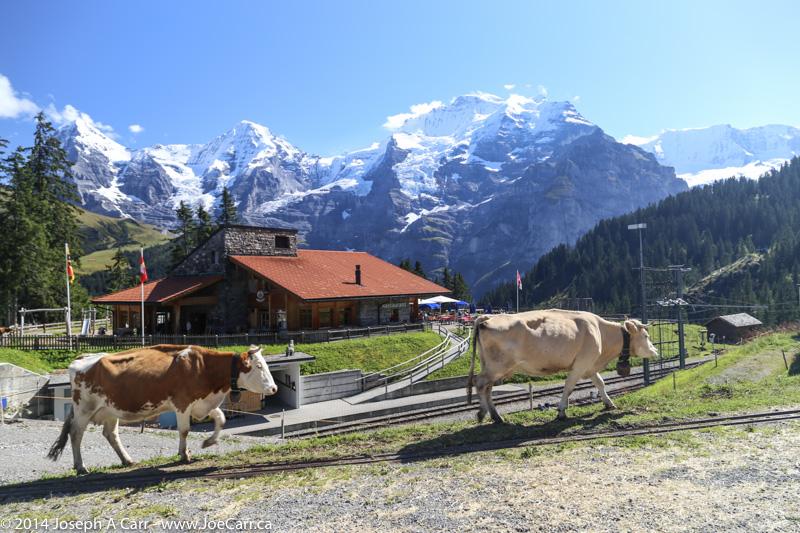 Contented Swiss cows heading for the alpine meadow near Grutschalp