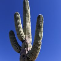 Saguaro cactus against a blue sky