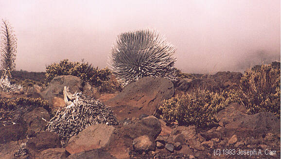 Silver Sword plants on the slopes of Haleakela