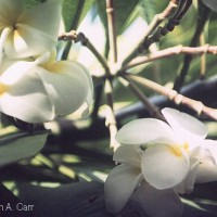 Plumeria is a delicate white flower, often used in making leis