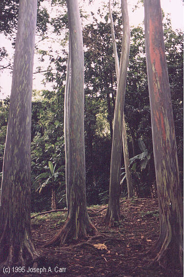 Gum trees at the Keanae Arboretum
