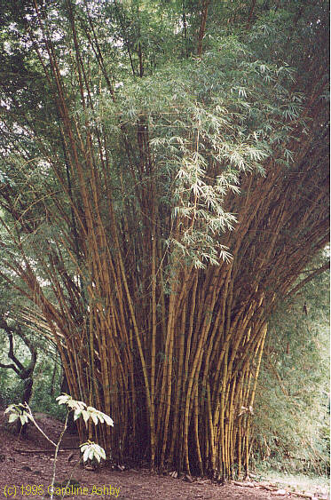 Giant bamboo at the Keanae Arboretum