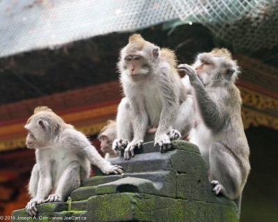 Monkeys perched on a temple column in the Sangeh monkey forest, Bali, Indonesia