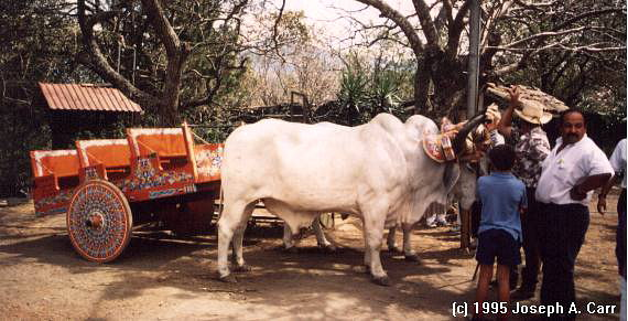 Ox car and oxen ear the Butterfly Farm