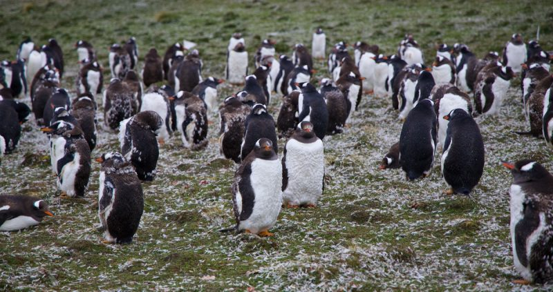 Molting Gentoo penguins at Bluff Cove, Falklands